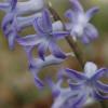 Гіацинт багатоквітковий Blue Festival
