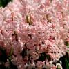 Гіацинт багатоквітковий Pink Festival