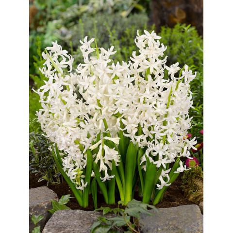 Гіацинт багатоквітковий White Festival