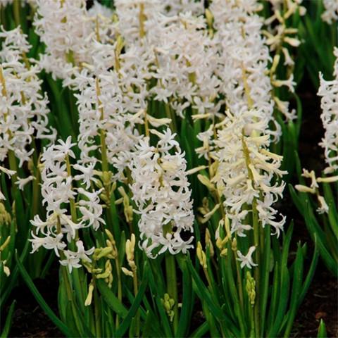Гиацинт многоцветковый White Festival