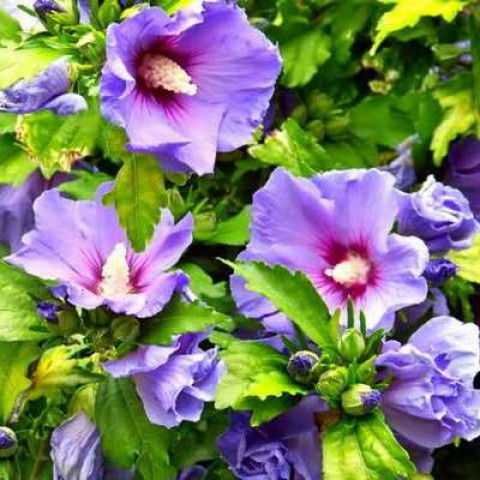 Гибискус древовидный Фиолетовый