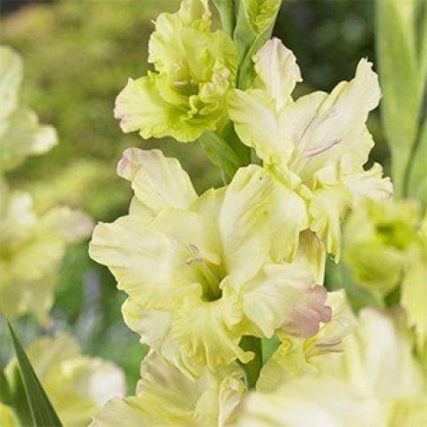Гладиолус Крупноцветковый Alicia (premium)