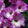 Гладиолус Крупноцветковый Anouk (premium)