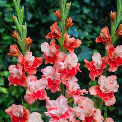 Гладиолус Крупноцветковый Arcas (premium)