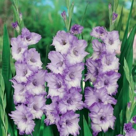 Гладіолус Великоквітковий Blue Frost (premium)