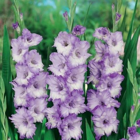 Гладиолус Крупноцветковый Blue Frost (premium)