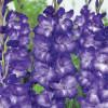Гладиолус Крупноцветковый Blue Isle (premium)