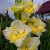 Гладиолус Крупноцветковый Buggy (premium)
