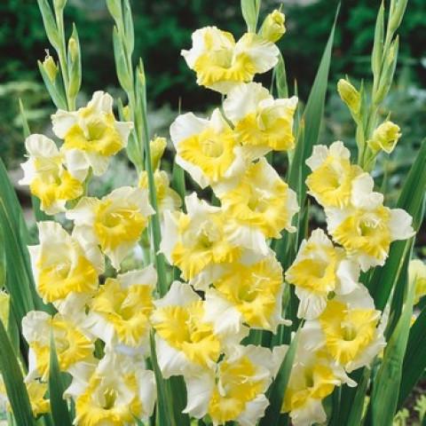 Гладиолус Крупноцветковый Buggy