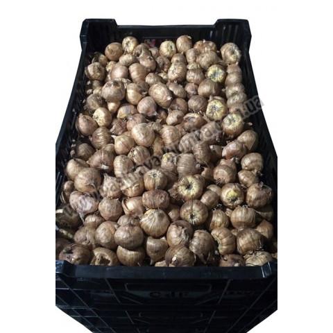 Гладиолус Крупноцветковый Chocolate