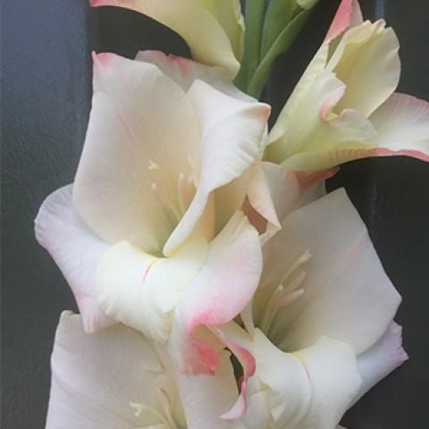 Гладиолус Крупноцветковый Cream Perfection