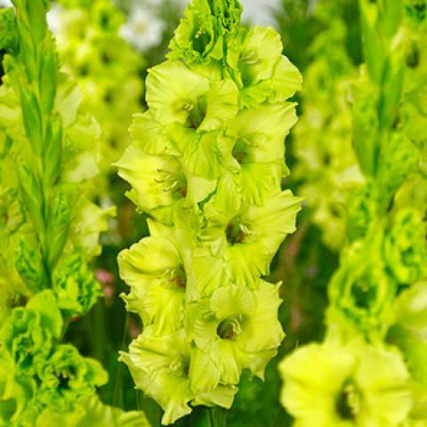 Гладиолус Крупноцветковый Evergreen