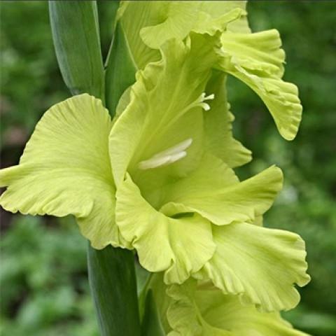 Гладиолус Крупноцветковый Green Star (premium)
