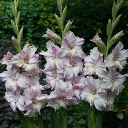 Гладиолус Крупноцветковый Lady Jane (premium)