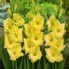 Гладиолус Крупноцветковый Nova Lux (premium)