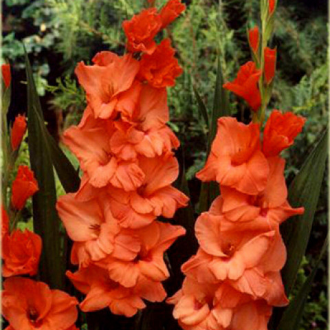 Гладиолус Крупноцветковый Orange King