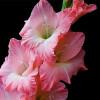 Гладиолус Крупноцветковый Orlando (premium)
