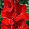 Гладиолус Крупноцветковый Osсar (premium)