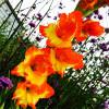 Гладиолус Крупноцветковый Princess Margaret Rose (premium)
