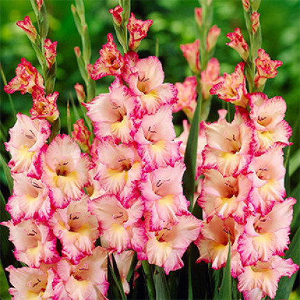 Гладиолус Крупноцветковый Priscilla (premium)