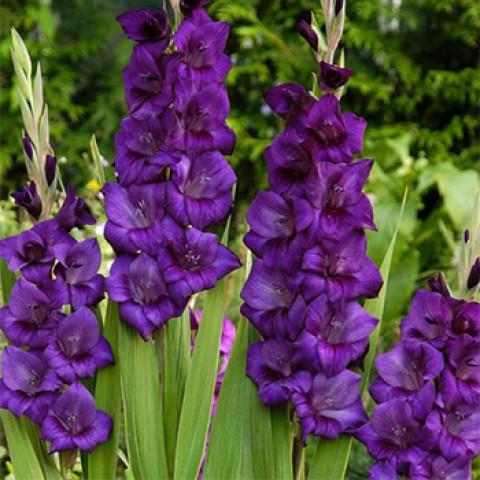 Гладіолус Великоквітковий Purple Flora