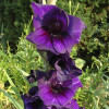 Гладиолус Крупноцветковый Purple Flora (premium)
