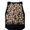 Гладиолус Крупноцветковый Spic and Span (premium)