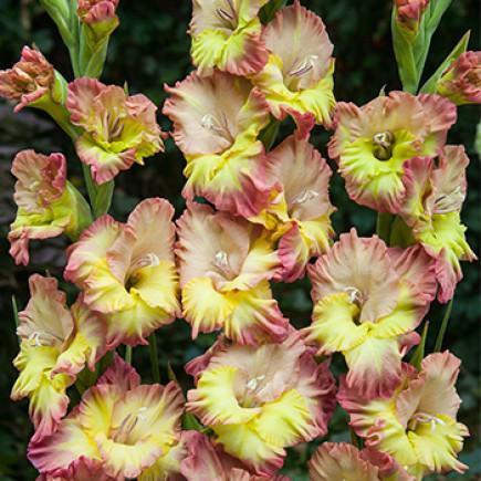 Гладиолус Крупноцветковый Volare (premium)