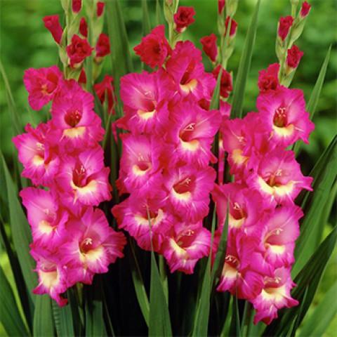 Гладиолус Крупноцветковый Windsong
