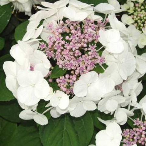 Гортензія Mariesii Grandiflora (White Wave)