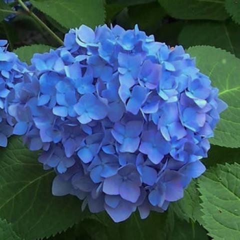 Гортензія Nikko Bleu