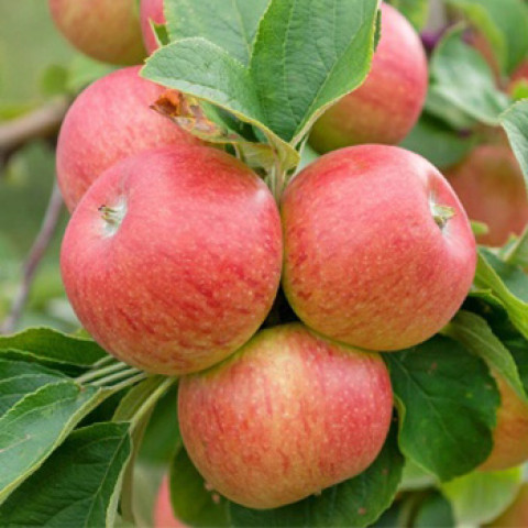 Яблоня Алкмене