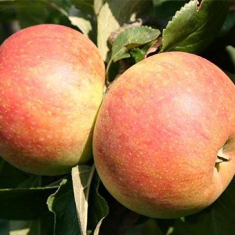 Яблуня Алкмене