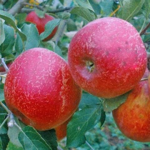 Яблуня Аррива