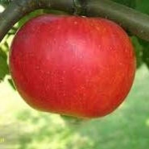 Яблоня Аррива
