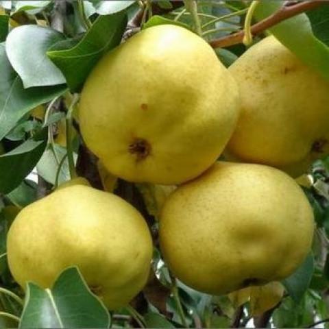 Яблоня Донешта