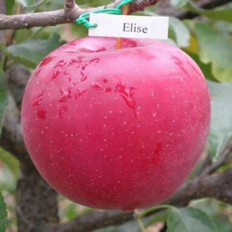 Яблоня Элиза