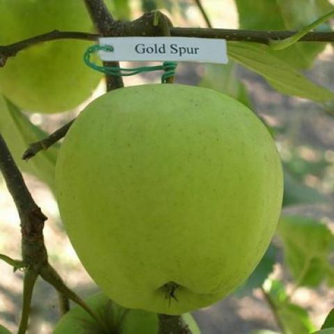 Яблоня Голден Спур