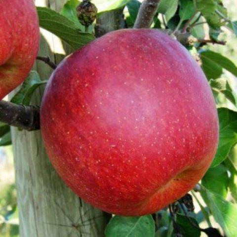 Яблоня Горець