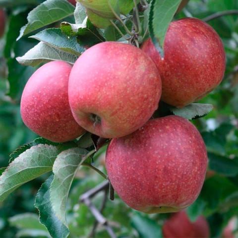 Яблуня Горець