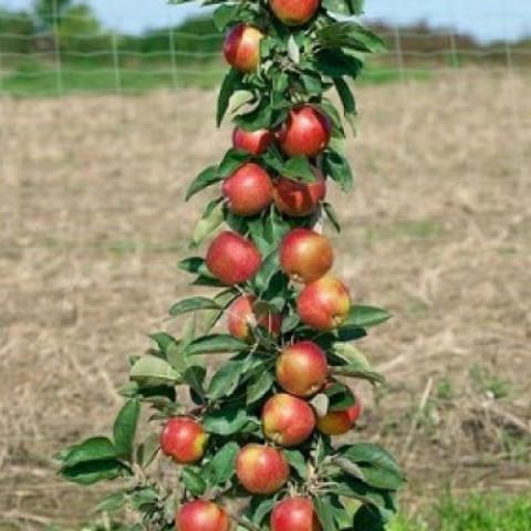 Яблоня колоновидная Кооп 47