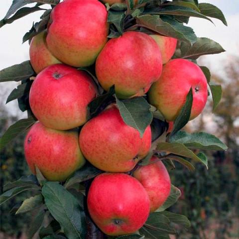 Яблуня колоновидна Кооп 47