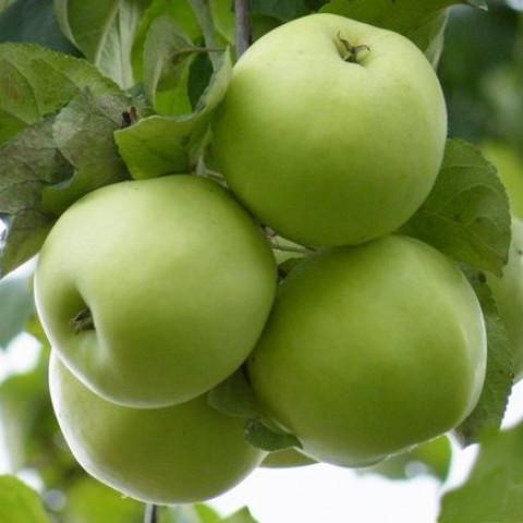 Яблоня Кристина Мутсу