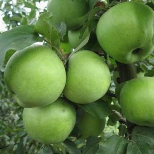 ренет татарский яблоня фото мультиварке овощами