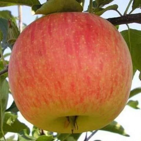 Яблоня Топаз