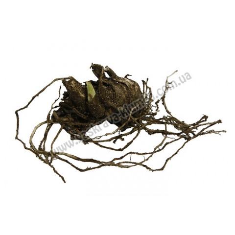 Ірис Germanica (Бородатий) Brown Lasso