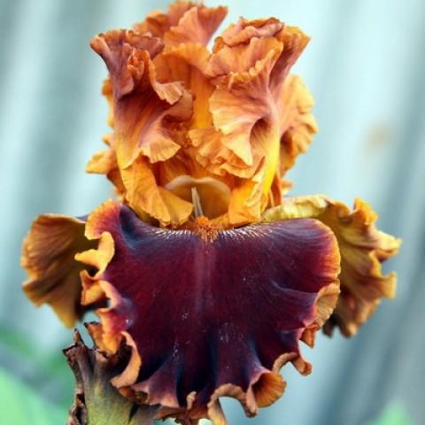 Ирис Germanica (Бородатый) Copatonic