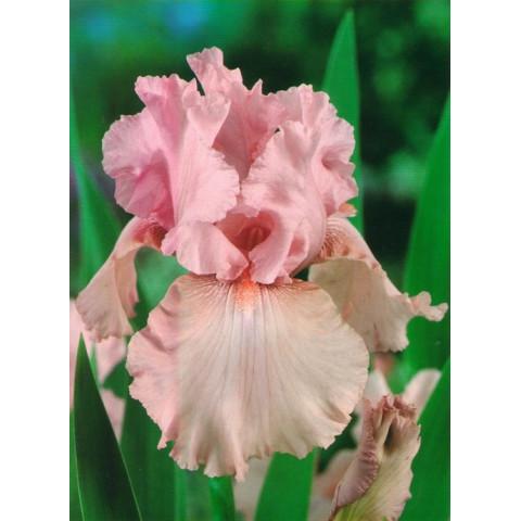Ірис Germanica (Бородатий) Pink Tafferty