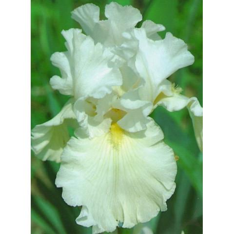 Ирис Germanica (Бородатый) White