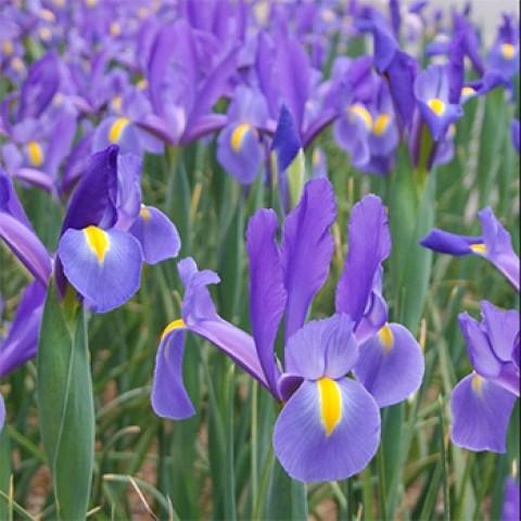 Ирис Hollandica Blue Magic